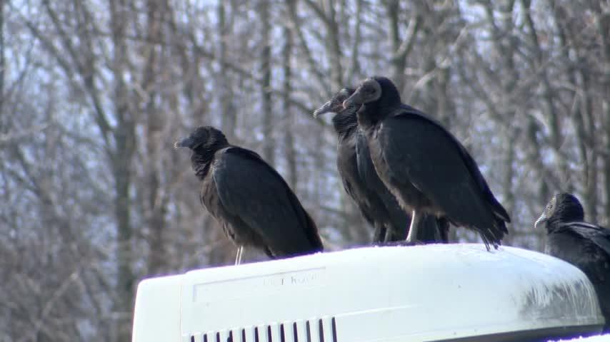 Vultures Pet Rescue_20160103152321