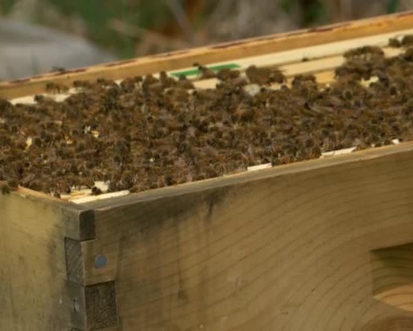 PA Beekeepers Concerned Over Bee Loss_20160523215206