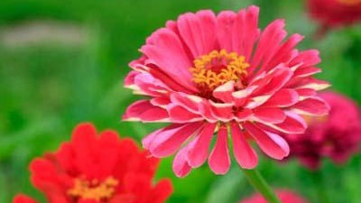 Zinnia-flowers-in-garden-jpg_20160430193757-159532